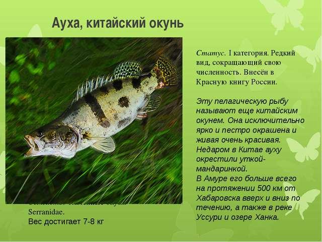 Ауха, китайский окунь Отряд Окунеобразные-Perciformes Семейство Каменные окун...