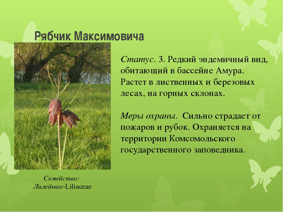 Рябчик Максимовича Статус. 3. Редкий эндемичный вид, обитающий в бассейне Аму...