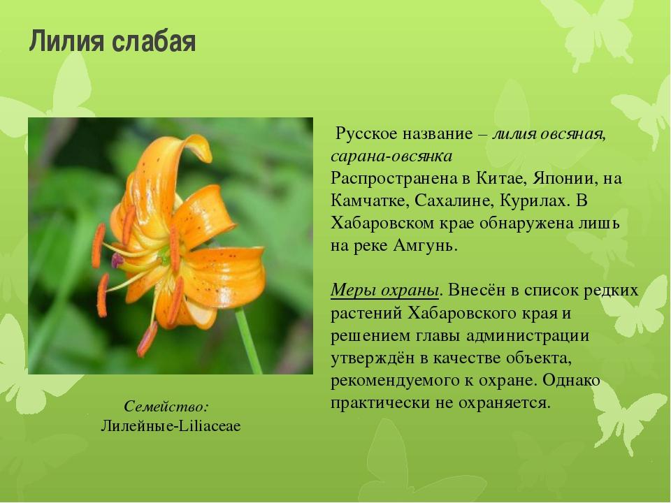 Лилия слабая Русское название – лилия овсяная, сарана-овсянка Распространена...