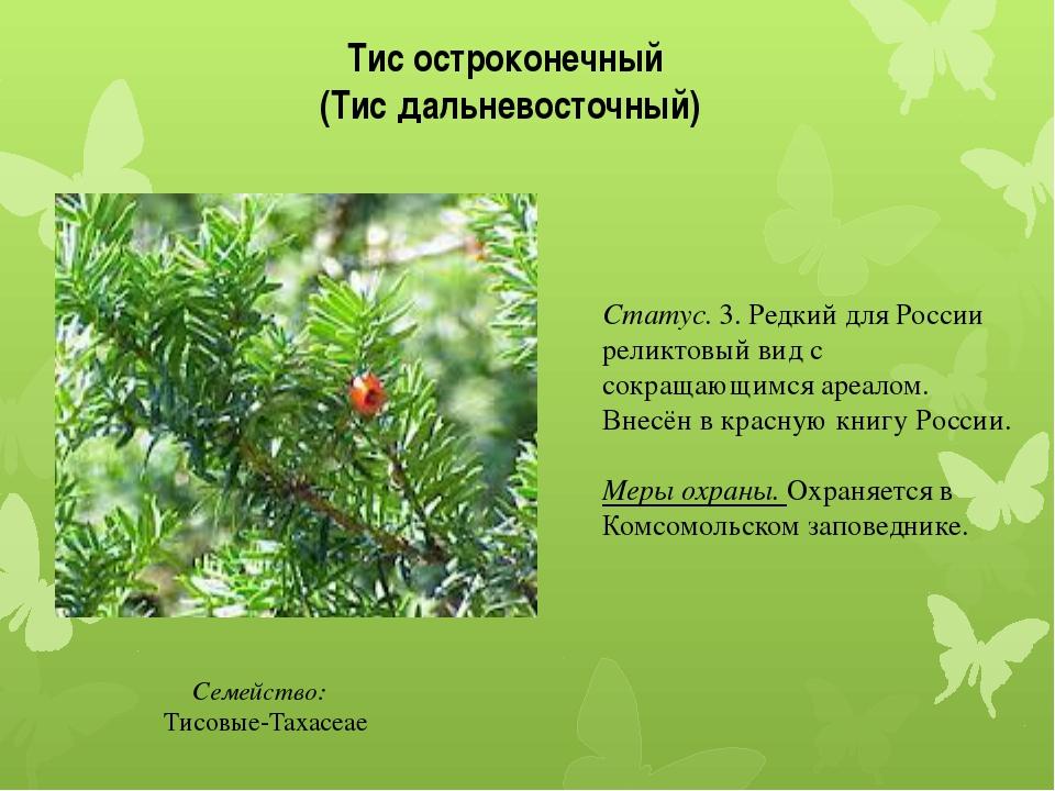 Тис остроконечный (Тис дальневосточный) Семейство: Тисовые-Taxaceae Статус....