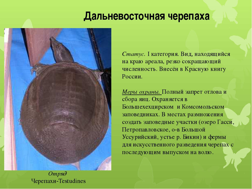 Дальневосточная черепаха Отряд Черепахи-Testudines Статус. I категория. Вид,...