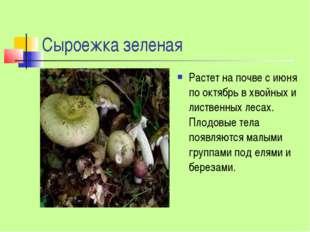 Сыроежка зеленая Растет на почве с июня по октябрь в хвойных и лиственных лес