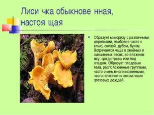 Лиси́чка обыкнове́нная, настоя́щая Образует микоризу с различными деревьями,