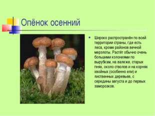 Опёнок осенний Широко распространён по всей территории страны, где есть леса,