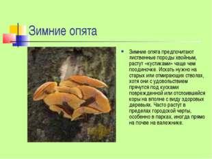 Зимние опята Зимние опята предпочитают лиственные породы хвойным, растут «кус