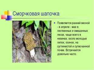 Сморчковая шапочка Появляется ранней весной - в апреле - мае в лиственных и с