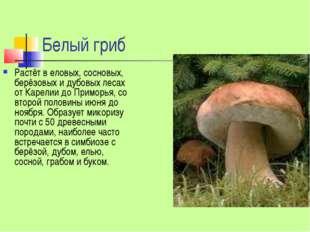 Белый гриб Растёт в еловых, сосновых, берёзовых и дубовых лесах от Карелии до