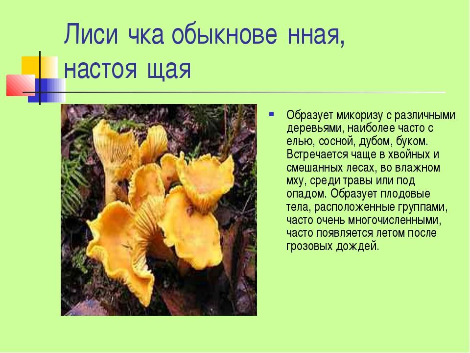 Лиси́чка обыкнове́нная, настоя́щая Образует микоризу с различными деревьями,...