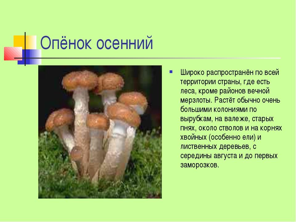Опёнок осенний Широко распространён по всей территории страны, где есть леса,...