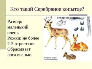 Кто такой Серебряное копытце? Сибирская косуля Размер: маленький олень Рожки: