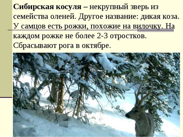 Сибирская косуля – некрупный зверь из семейства оленей. Другое название: дика...
