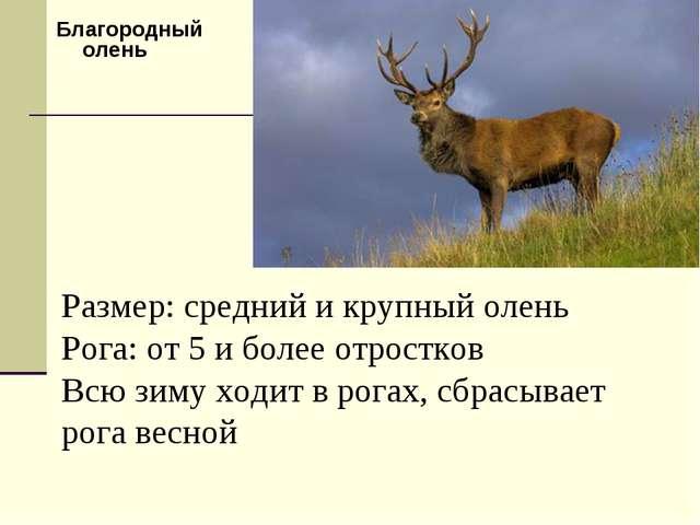 Благородный олень Размер: средний и крупный олень Рога: от 5 и более отростко...