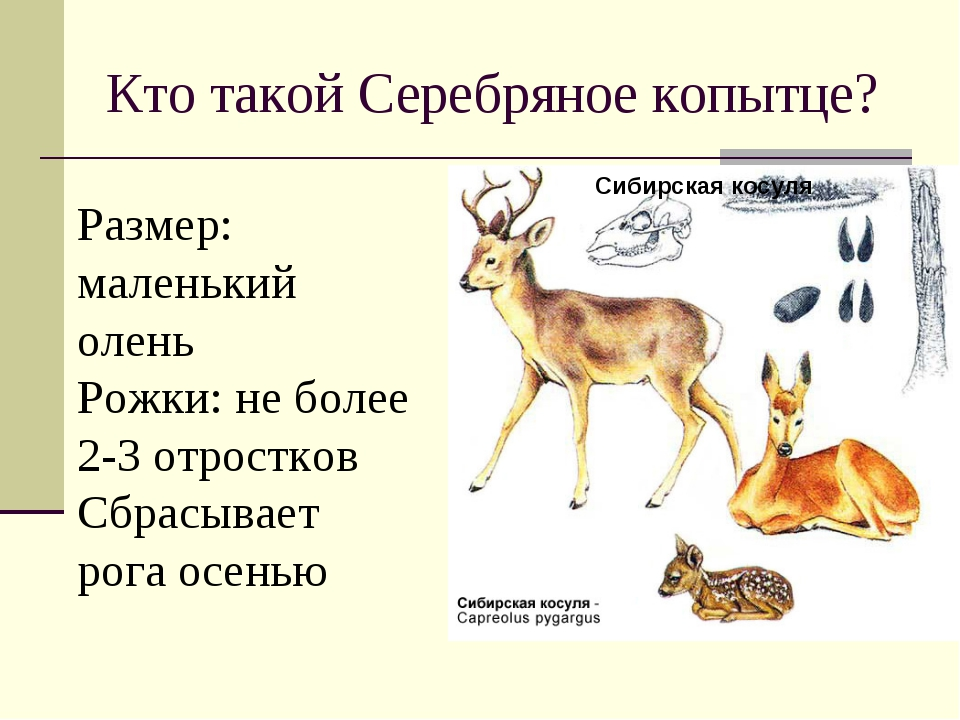 Кто такой Серебряное копытце? Сибирская косуля Размер: маленький олень Рожки:...