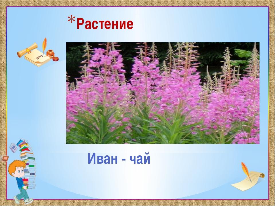 Растение Иван - чай