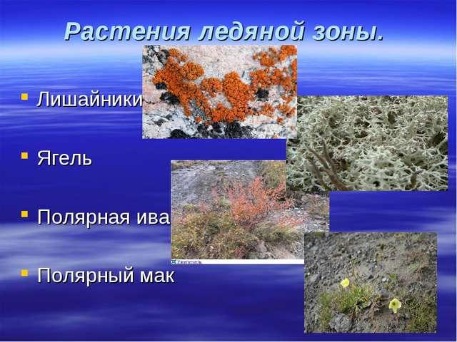 Растения ледяной зоны. Лишайники Ягель Полярная ива Полярный мак