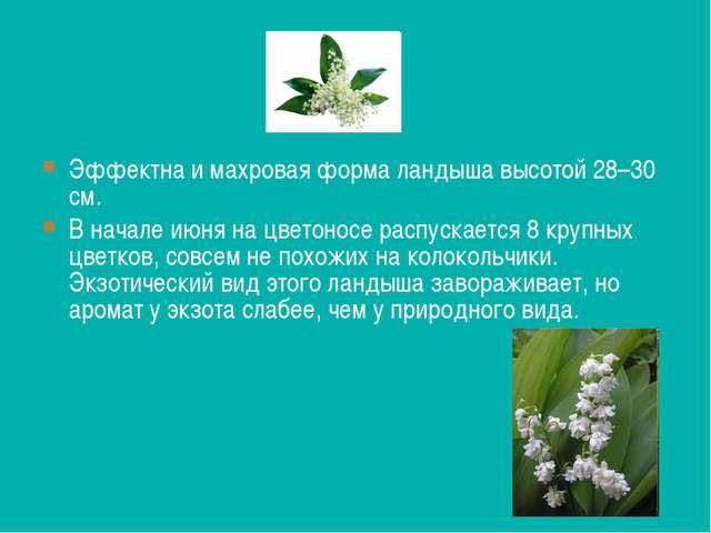 Эффектна и махровая форма ландыша высотой 28–30 см. В начале июня на цветонос...