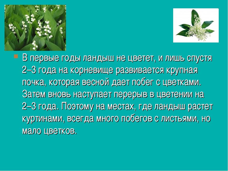 В первые годы ландыш не цветет, и лишь спустя 2–3 года на корневище развивает...