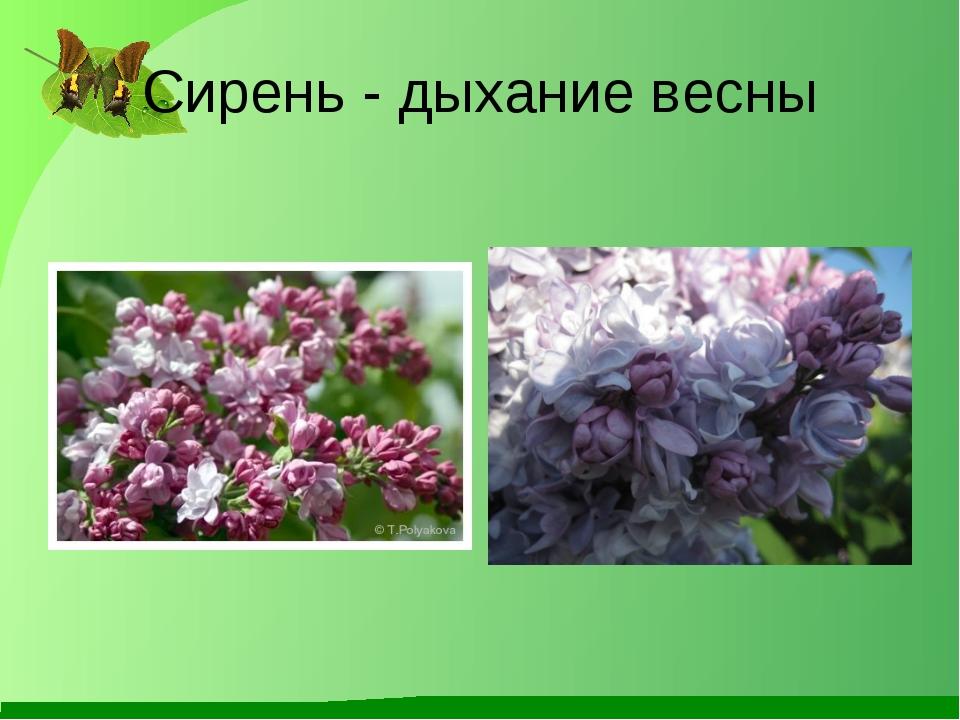 Сирень - дыхание весны