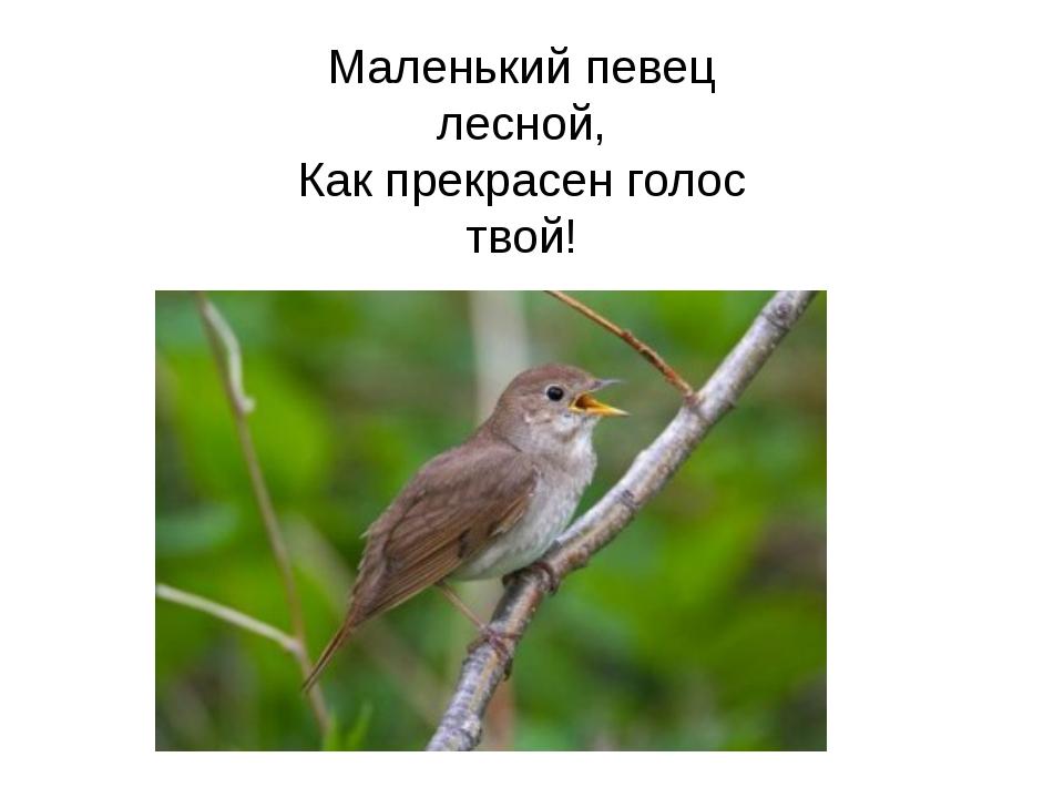 Маленький певец лесной, Как прекрасен голос твой!