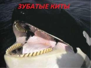 ВИКТОРИНА Самое большое млекопитающее на Земле? Самое большое зубатое китооб