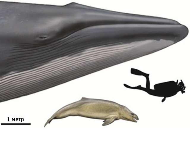 Величина китообразных поражала воображение людей. Очень долго они представля...