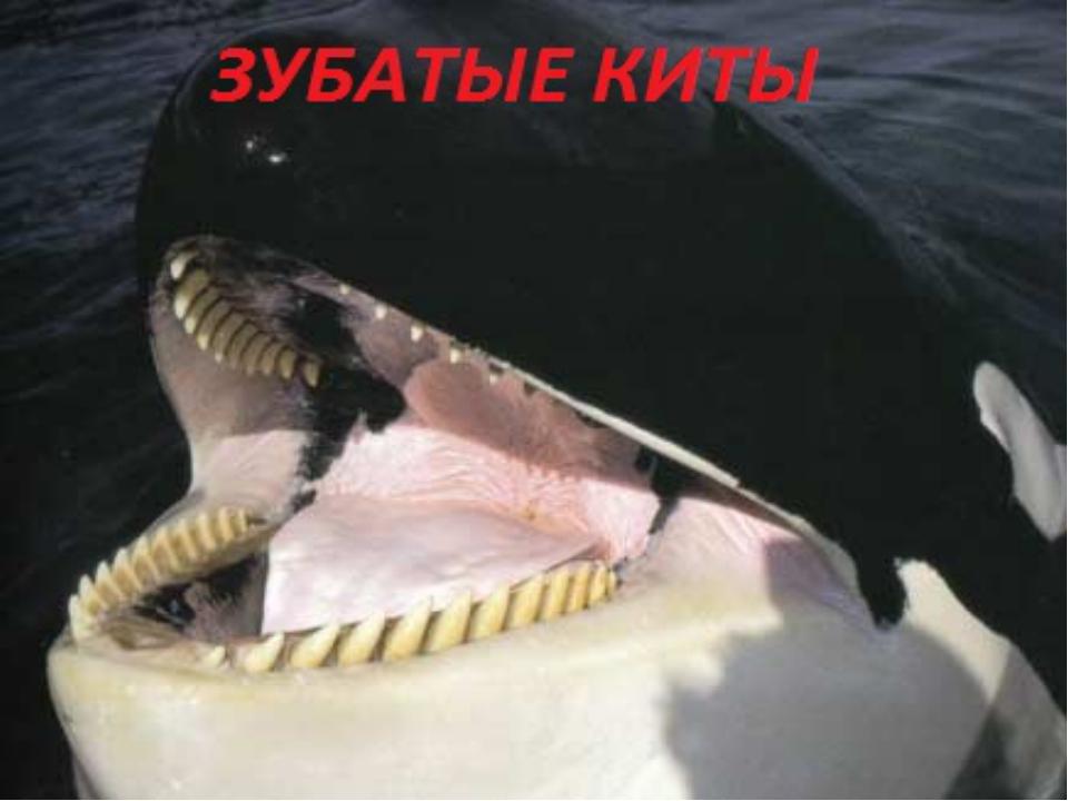ВИКТОРИНА Самое большое млекопитающее на Земле? Самое большое зубатое китооб...