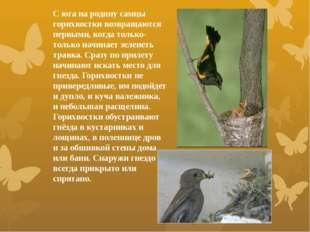 С юга на родину самцы горихвостки возвращаются первыми, когда только-только н