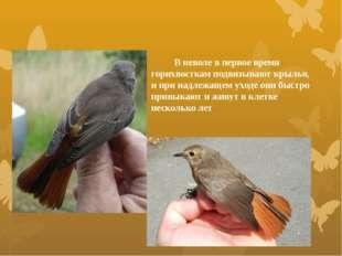 В неволе в первое время горихвосткам подвязывают крылья, и при надлежащем ух