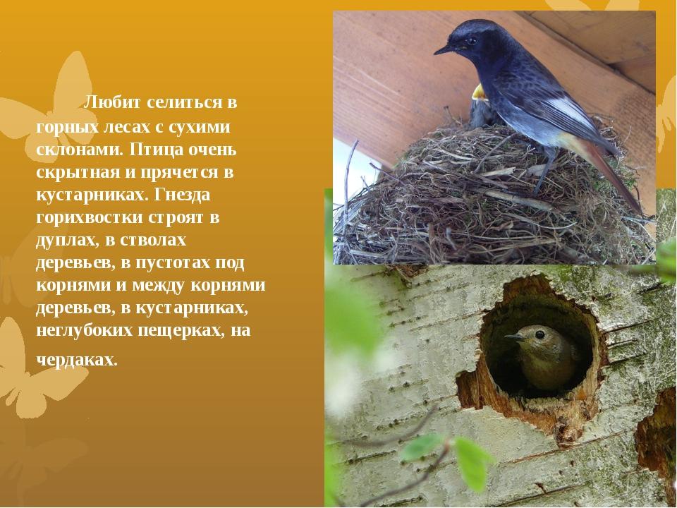 Любит селиться в горных лесах с сухими склонами.Птица очень скрытная и пряч...