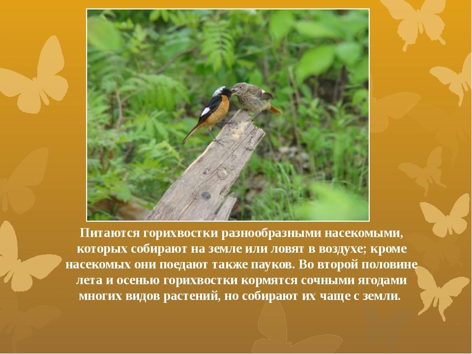 Питаются горихвостки разнообразными насекомыми, которых собирают на земле или...