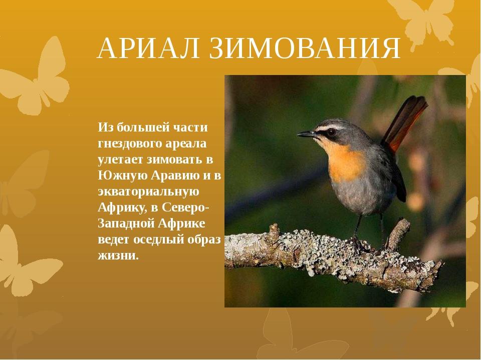 Из большей части гнездового ареала улетает зимовать в Южную Аравию и в эквато...