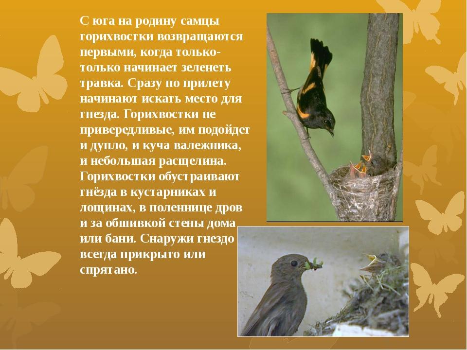 С юга на родину самцы горихвостки возвращаются первыми, когда только-только н...