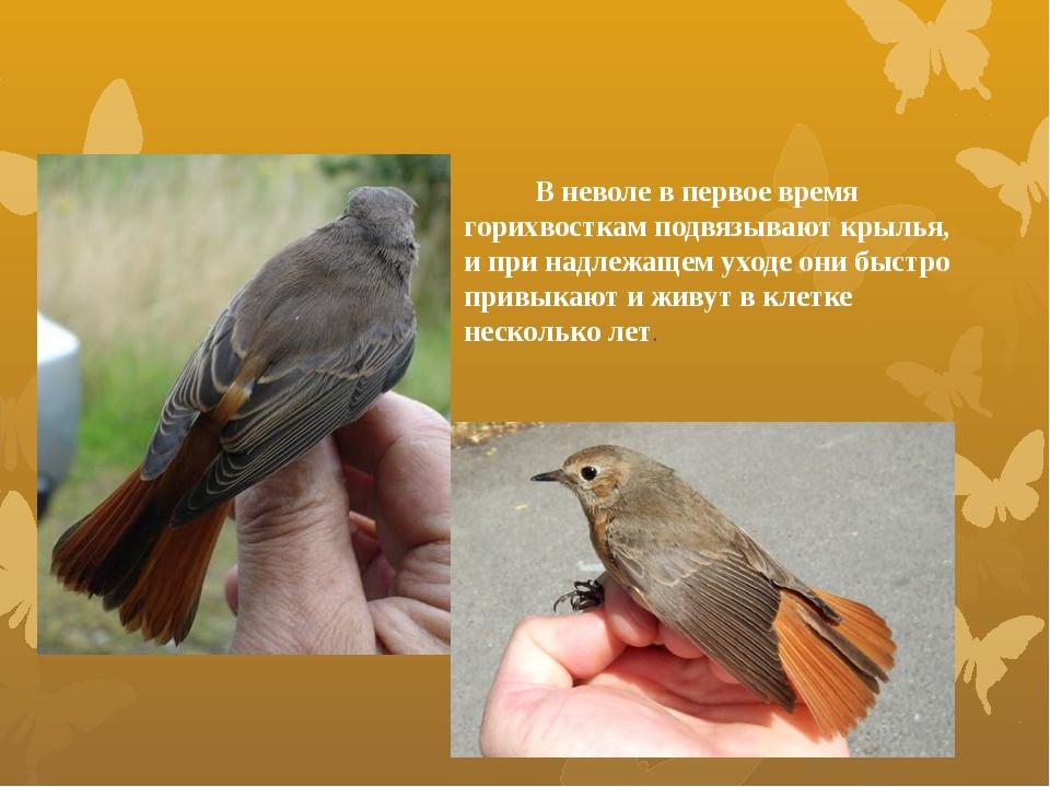 В неволе в первое время горихвосткам подвязывают крылья, и при надлежащем ух...