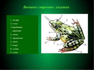 Внешнее строение лягушки 1. ноздри 2. глаза 3. барабанная перепонка 4. плечо