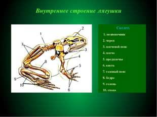 Внутреннее строение лягушки Скелет. 1. позвоночник 2. череп 3. плечевой пояс