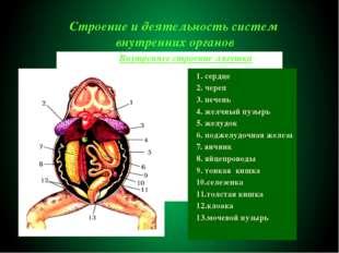 Строение и деятельность систем внутренних органов 1. сердце 2. череп 3. печен