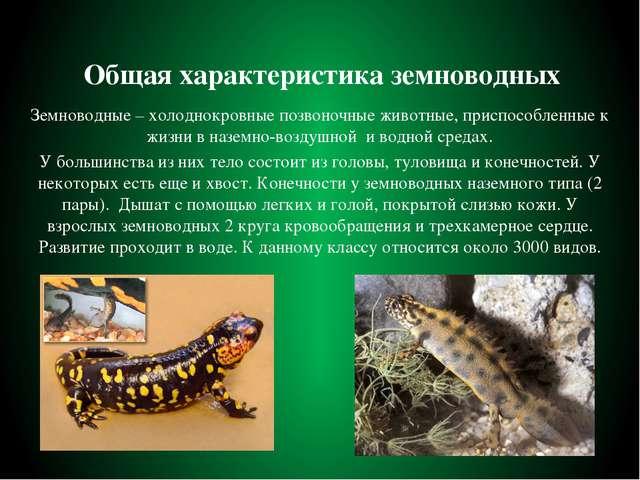 Общая характеристика земноводных Земноводные – холоднокровные позвоночные жив...
