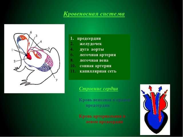 Кровеносная система 1. предсердия желудочек дуга аорты легочная артерия легоч...