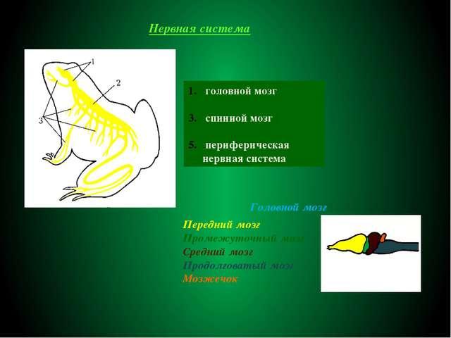 Нервная система головной мозг спинной мозг периферическая нервная система Гол...