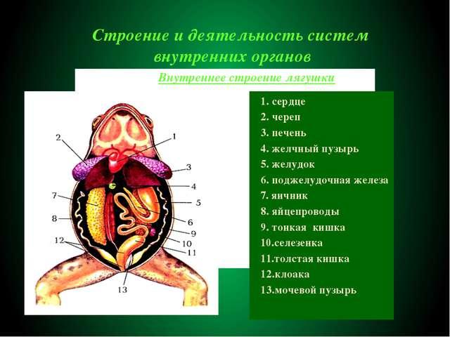 Строение и деятельность систем внутренних органов 1. сердце 2. череп 3. печен...