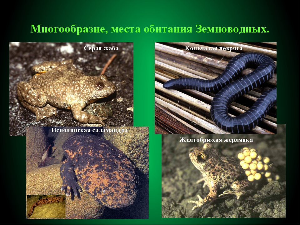 Многообразие, места обитания Земноводных. Кольчатая чевряга Серая жаба Исполи...