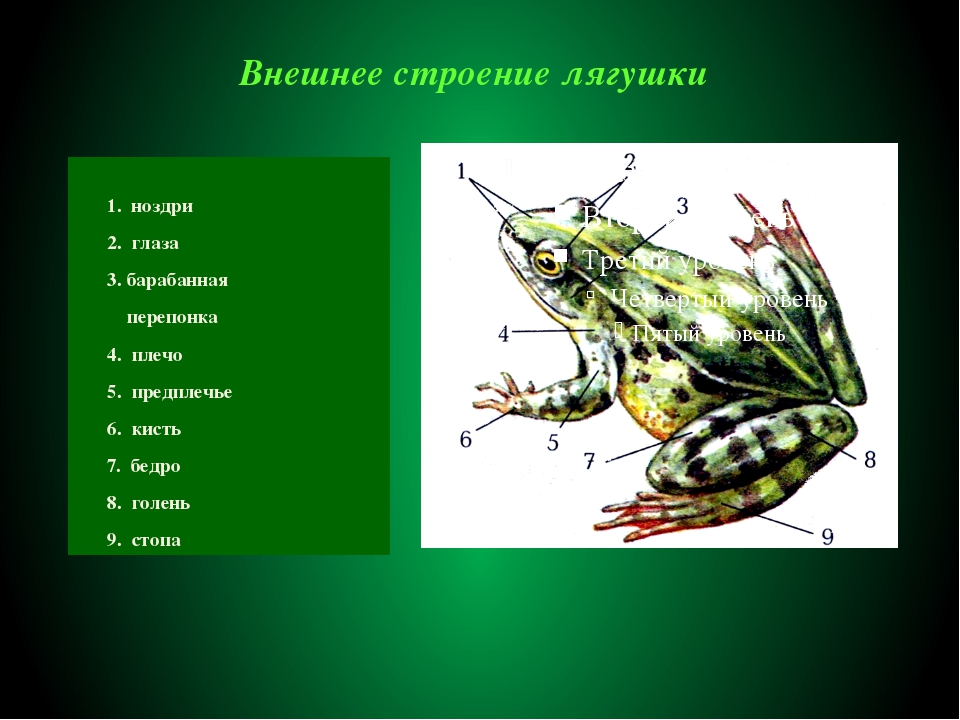 Внешнее строение лягушки 1. ноздри 2. глаза 3. барабанная перепонка 4. плечо...