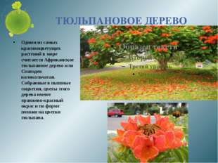 ТЮЛЬПАНОВОЕ ДЕРЕВО Одним из самых красивоцветущих растений в мире считается А
