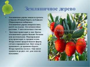 Земляничное дерево Земляничное дерево можно встретить в Крыму (Южный берег),