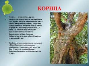 КОРИЦА Кори́ца — вечнозелёное дерево. Корицей также называется и высушенная к