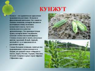 КУНЖУТ Кунжут - это тропическое однолетнее травянистое растение с белыми и фи