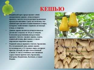 КЕШЬЮ Индийский орех представляет собой декоративное дерево , плод которого п