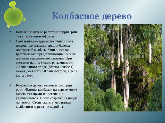 Колбасное дерево Колбасное дерево растёт на территории Экваториальной Африки....