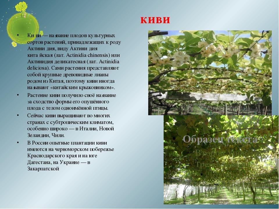 киви Ки́ви — название плодов культурных сортов растений, принадлежащих к роду...