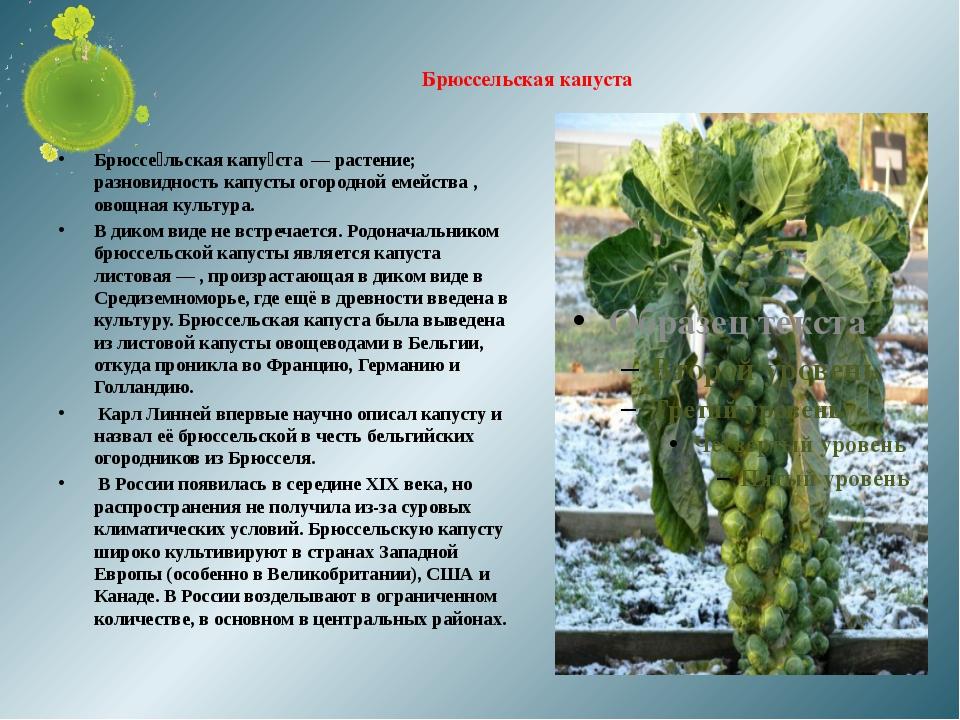 Брюссельская капуста Брюссе́льская капу́ста — растение; разновидность капусты...